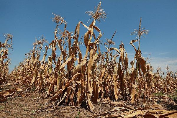 Kurenda dotycząca klęski suszy na terenie gminy Konopnica